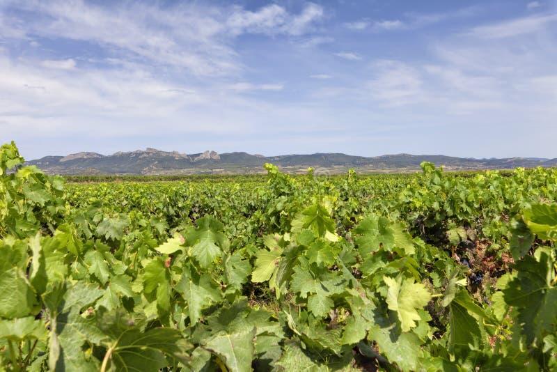 Viñedos en la región de La Rioja en España fotografía de archivo libre de regalías