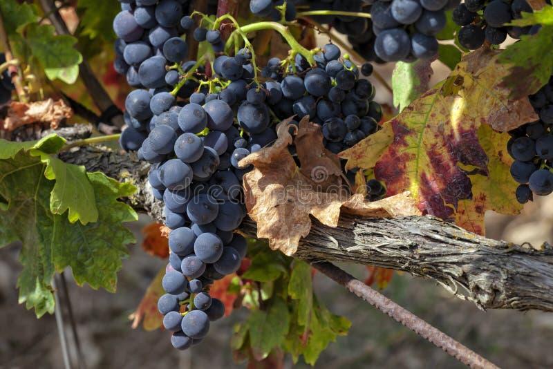 Viñedos en la región de La Rioja en España imagenes de archivo
