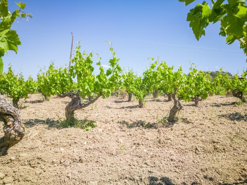 Viñedos hermosos y de Yong Campo de los árboles de la uva en Grecia Paisaje con los viñedos y las montañas fotografía de archivo libre de regalías