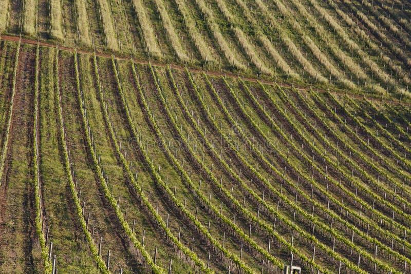 Viñedos rodantes de una granja del vino en Suráfrica foto de archivo
