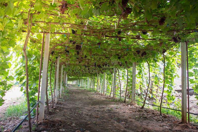 Viñedos y uva orgánica en ramas de la vid fotografía de archivo