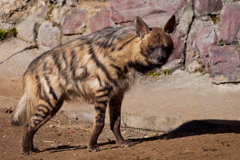Vi esamina L'iena a strisce cammina lungo la sabbia contro lo sfondo del lavoro in pietra, la bestia predatore lanosa è fotografie stock libere da diritti