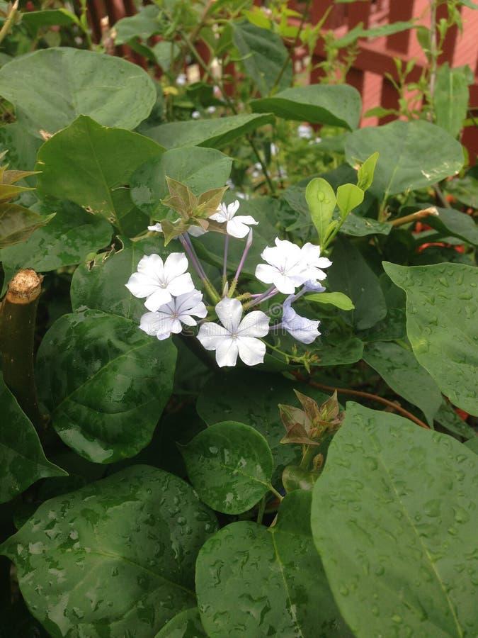 VI Rainy Day Flower. Saint Thomas, United States Virgin Islands royalty free stock image