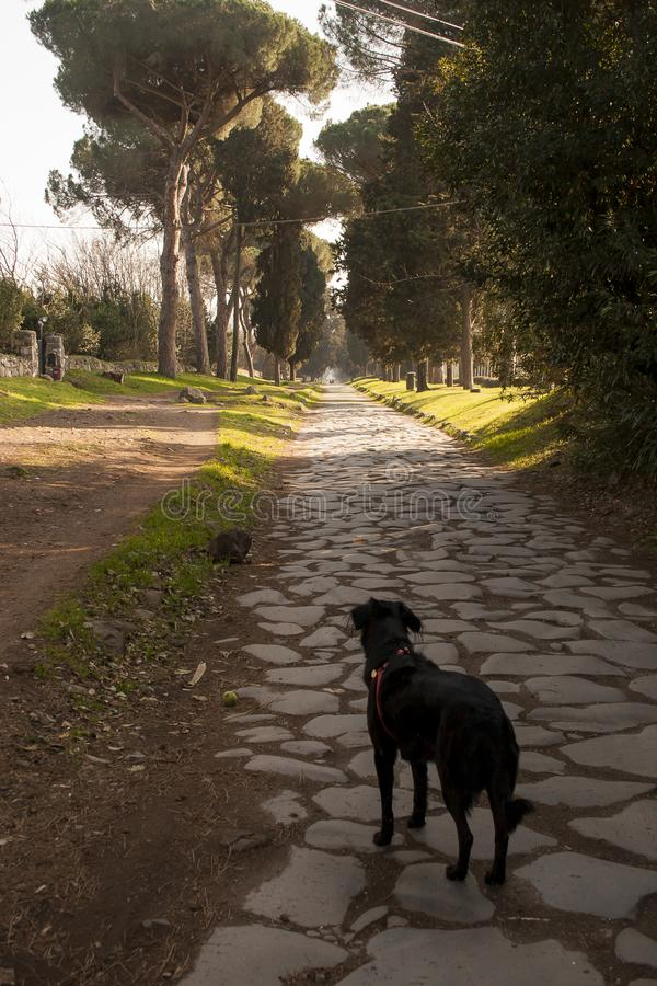 Via Appia Antica in Rome. Siria, a beautiful black half-breed that resembles a Flat Coated Retriever, looks down on the Via Appia Antica in Rome. This route was stock image