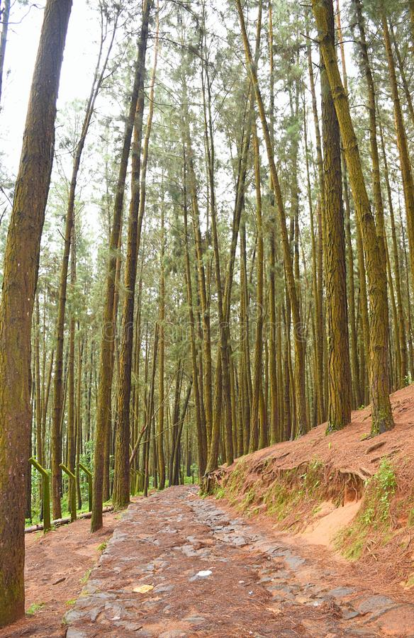 Via tramite i pini in pino Forest Valley, Vagamon, Idukki, Kerala, India immagine stock libera da diritti
