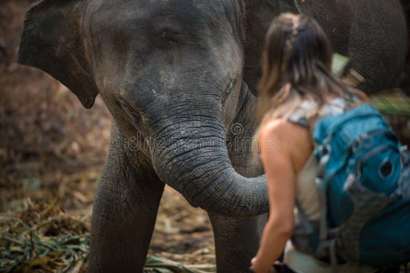 Viaggiatore con zaino e sacco a pelo turistico che interagisce con l'elefante del bambino, elephas maximus fotografie stock libere da diritti