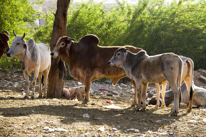 Viaggio India: Gruppo di mucche sante in Pushkar immagini stock