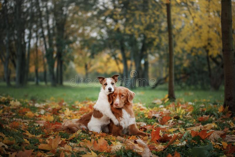 Viajante dos cães Modo do outono Nova Scotia Duck Tolling Retriever vermelha e Jack Russell Terrier animais de estimação felizes  foto de stock royalty free