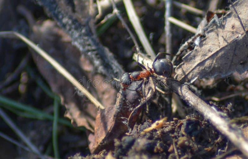 Viaje de hormigas fotos de archivo