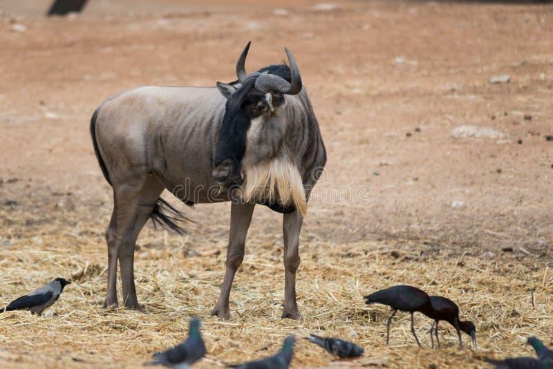 Viaje de la mañana en Ramat Gan Safari Park fotografía de archivo