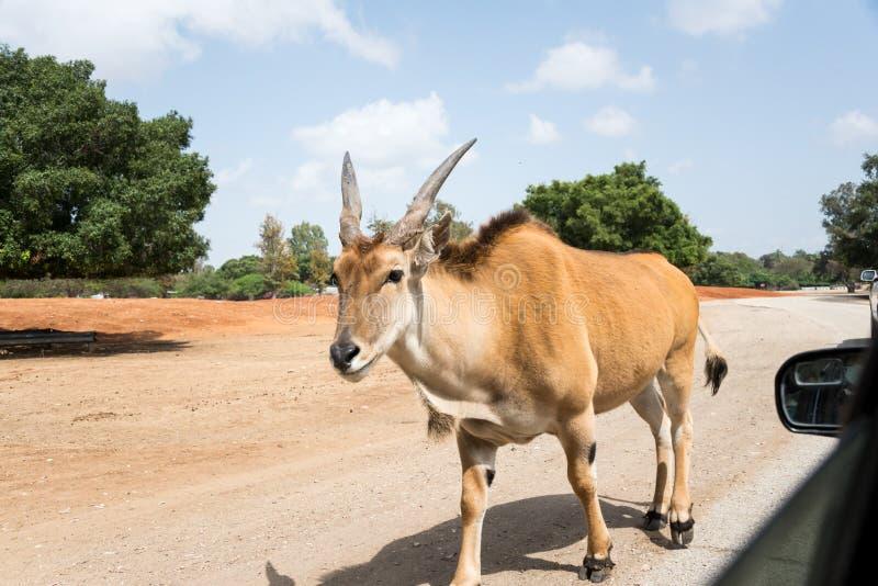 Viaje de la mañana en Ramat Gan Safari Park fotos de archivo libres de regalías