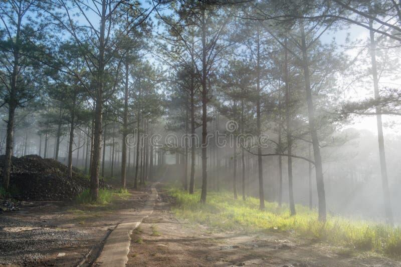 Viaje en el bosque del pino del rastro, Vietnam del descubrimiento Fondo con los rayos solares mágicos, la luz, la niebla densa y foto de archivo