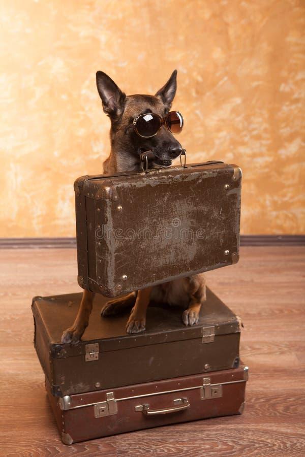 Viajero del perro con los casos en eyeglassess imagenes de archivo