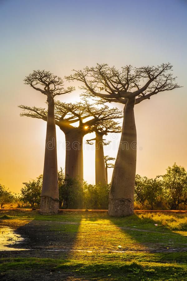 Viale dei baobab con un tramonto stupefacente fotografie stock libere da diritti