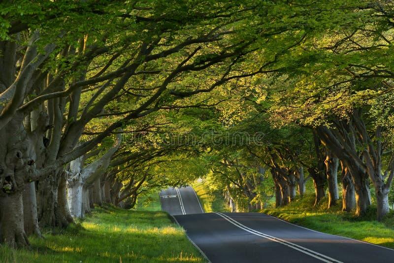 Viale Lacey dell'albero di Kingston, Dorset, Regno Unito immagine stock