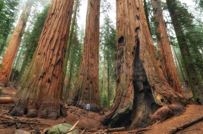 Viandante nel parco nazionale della sequoia, California, U.S.A. fotografia stock