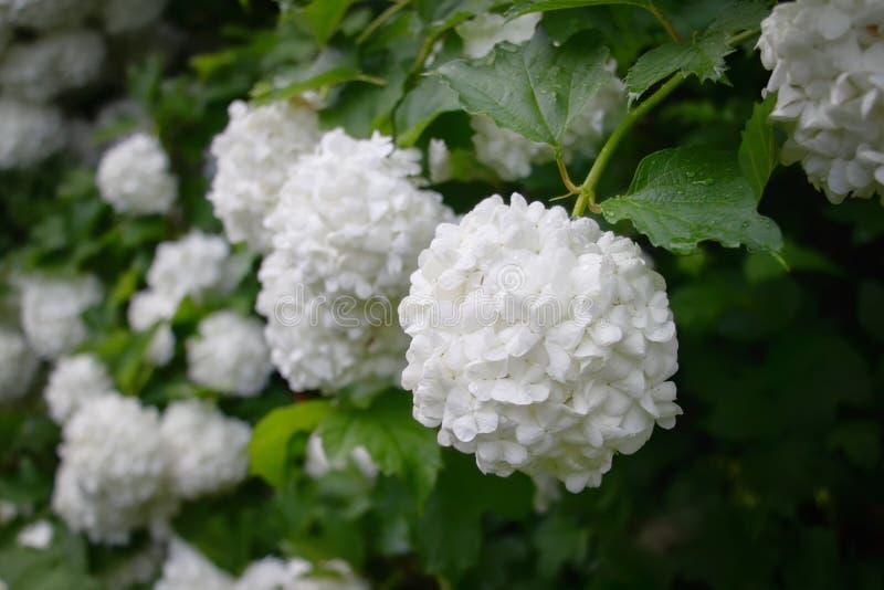 Vibúrnum Roseum зацвело красивые белые шаровидные цветки стоковое изображение