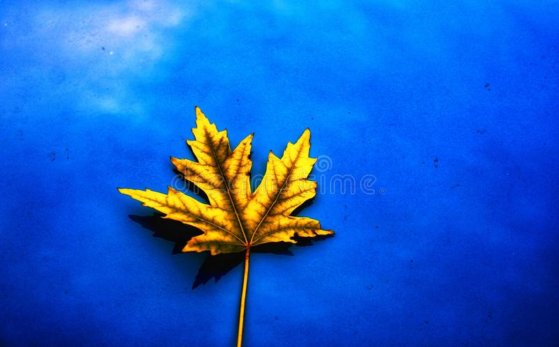Vibrance of Autumn: Maple Leaf. A solitary yellow maple leaf has fallen on a field of blue; in this instance, the hood of a car, creating a simplistic, stunning stock photography