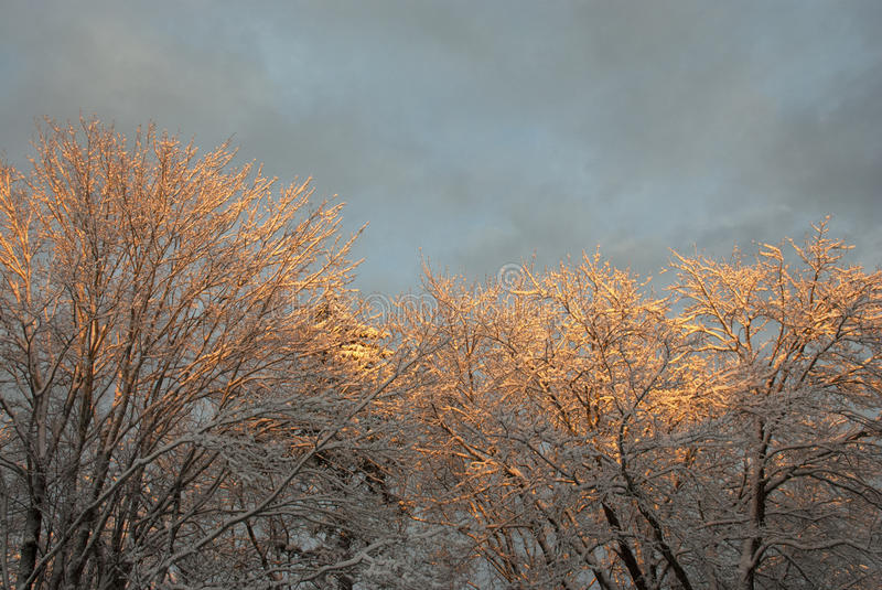 Vibrance. Sunset on snowy tree tops between storms in Maine royalty free stock image