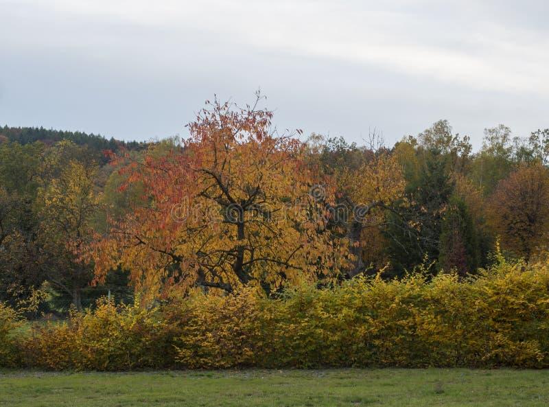 Vibrant Autumn Colors of the Leaves on Cherry Tree, latifoglie di alberi decidui e cespugli sullo sfondo del cielo blu nuvoloso i immagini stock