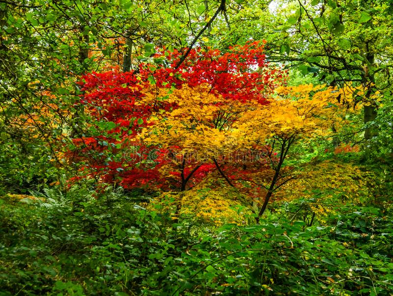 Vibrant autumn foliage of contrasting Japanese maples. Vibrant red and orange autumn foliage of contrasting Japanese maples surrounded by bright green beech stock images
