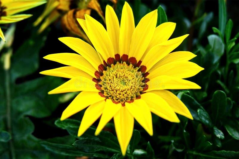 Vibrant Blooming Yellow Flower Gazania Linearis. Closeup Photo of Vibrant Blooming Yellow Flower Gazania Linearis Blooming in the Garden royalty free stock photo