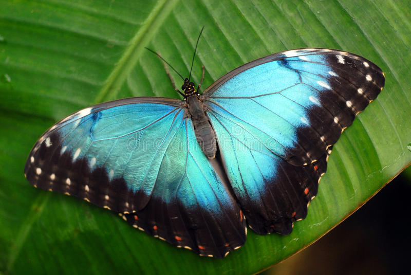 Download Vibrant blue butterfly stock photo. Image of rain, green - 11749232