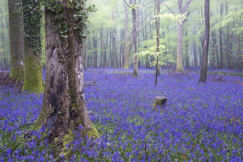 Vibrant bluebell carpet Spring forest foggy landscape royalty free stock image