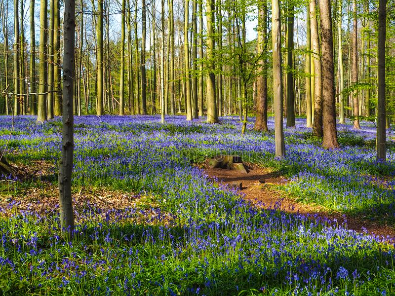 Vibrant bluebell woodland during spring, Belgium royalty free stock images