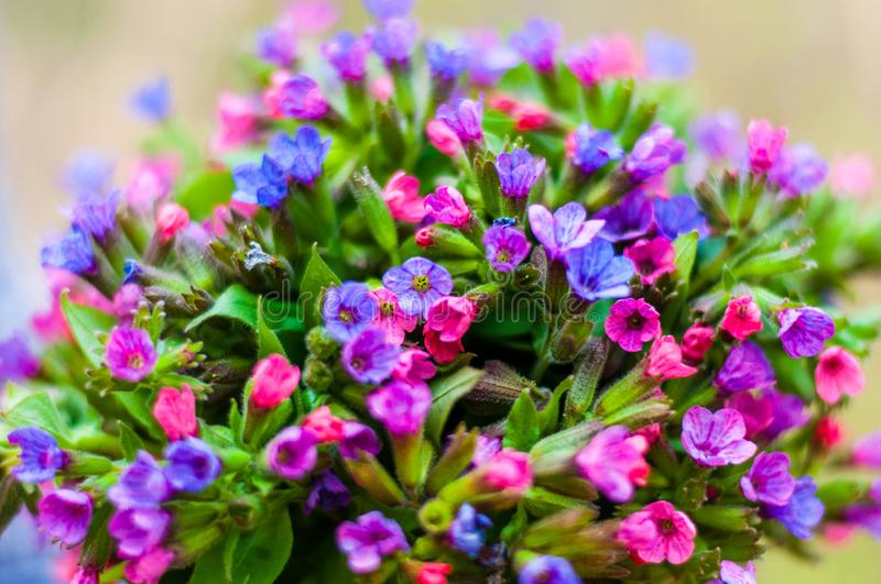 The vibrant bouquet of Pulmonaria or lungwort multicolor blue, magenta, red and purple blooming flowers royalty free stock photos