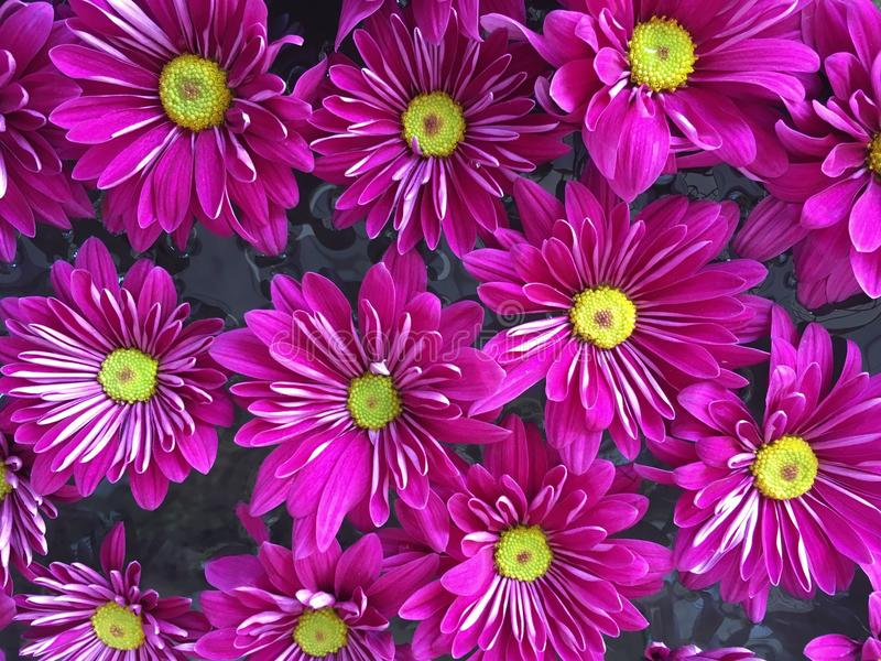 Vibrant bright purple chrysanthemums on the water. Close up of vibrant bright purple chrysanthemums on the water royalty free stock photos