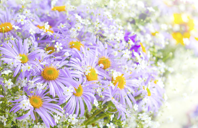 Vibrant bright purple daisy flowers. Spring and summer flowers.  royalty free stock images