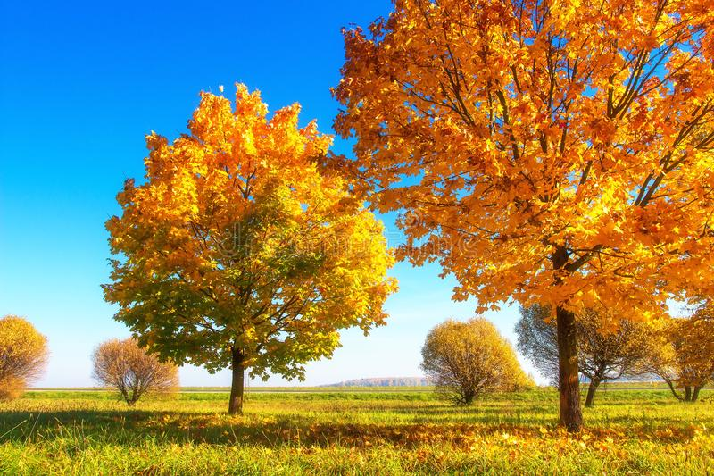 Vibrant color autumn nature. Beautiful sunny autumn landscape. Scenic yellow trees in sunlight. Fall. Golden foliage on tree in. October morning. Vivid colorful royalty free stock photo