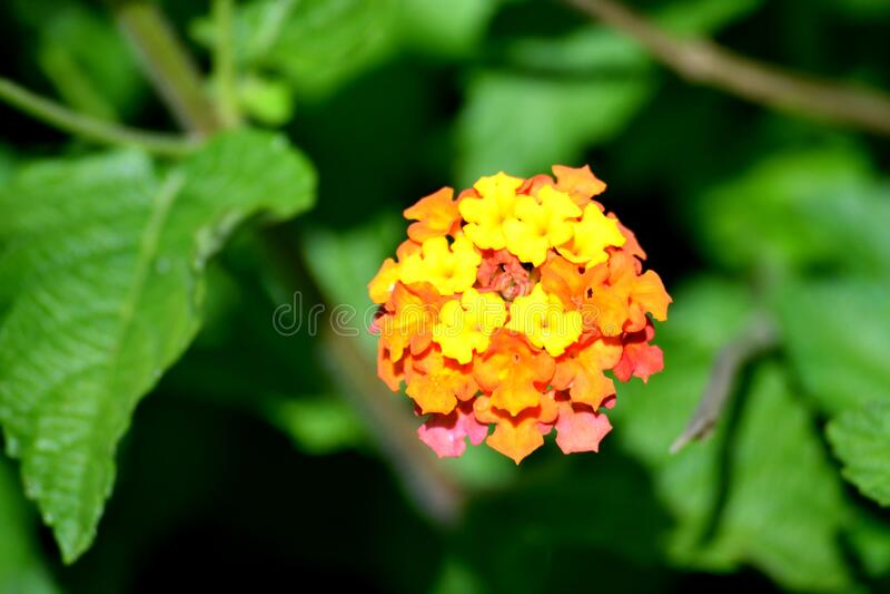 Vibrant Color Lantana Flower royalty free stock photo