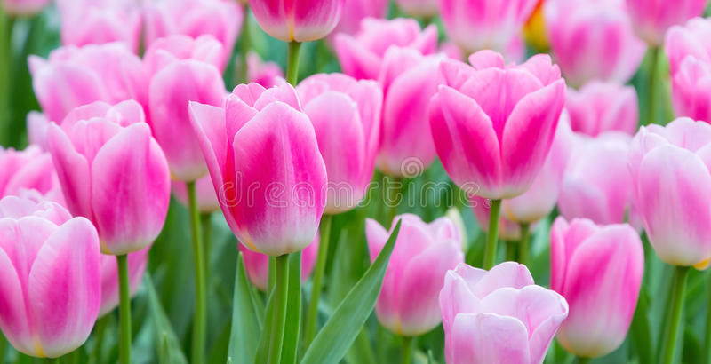 Vibrant colorful closeup pink and white tulips holiday background royalty free stock photos