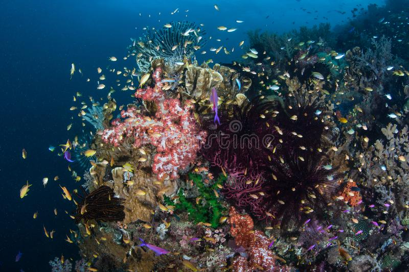 Vibrant and Colorful Coral Reef in the Philippines royalty free stock photo