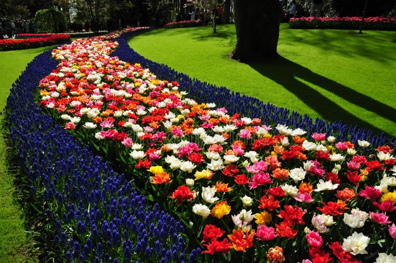 Wonderful world of Flowers in keukenhof gardens Netherlands. Vibrant and colorful flowers bed in keukenhof garden captured in Netherlands, Holland. Keukenhof royalty free stock photos