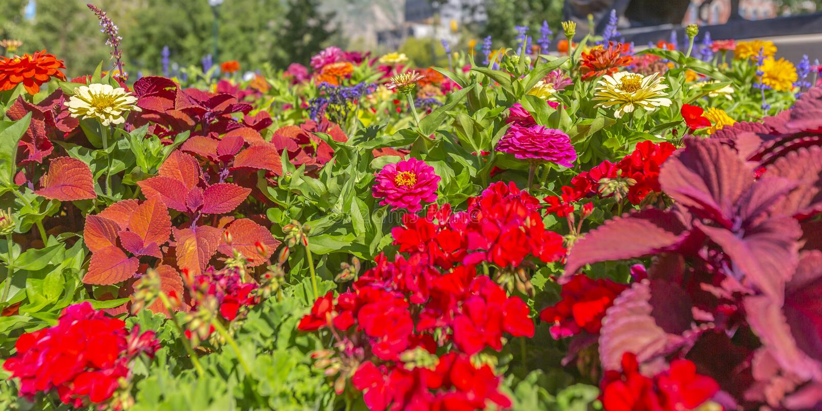 Vibrant colorful flowers under the bright sun. Close up view of vibrant flowers amongst bright green leaves. The delicate colorful flowers bloom beneath the royalty free stock photos