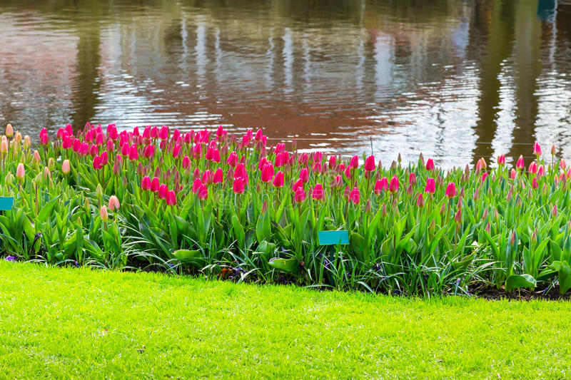 Vibrant colorful pink red tulips flowerbed. Colorful pink red tulips flowerbed near water in spring flower garden royalty free stock images