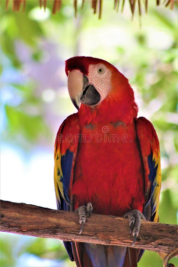 Scarlet Macaw Parrot at the Phoenix Zoo, Phoenix, Arizona, United States. Vibrant colorful red, blue and yellow Scarlet Macaw located in the desert at the royalty free stock photography