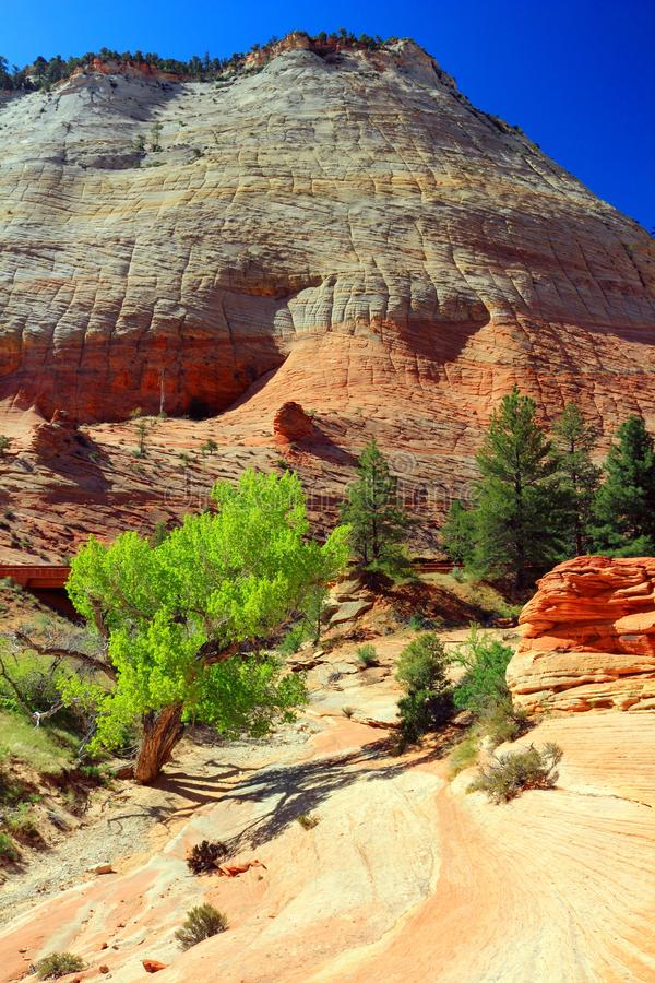 Free Vibrant Cottonwood And Dry Wash At Checkerboard Mesa In Spring, Zion National Park, Utah, USA Stock Photo - 100883470