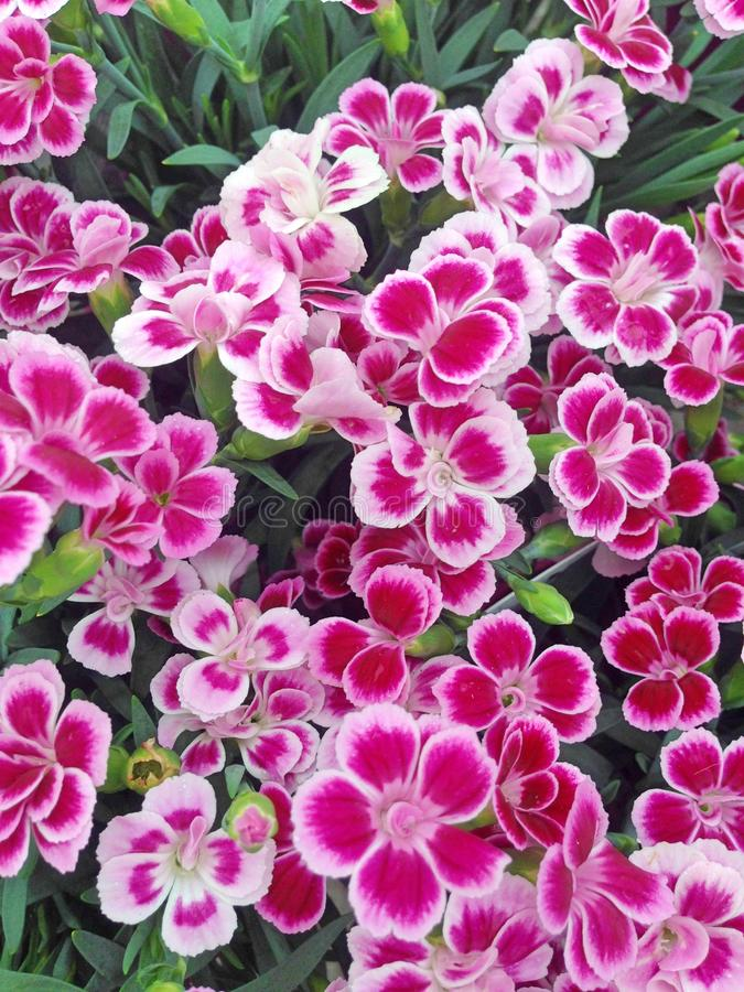 Vibrant dianthus flowers in shades of pink stock image image of a colorful display of dianthus flowers with petals colored in vibrant magenta surrounded by white and pink edges mightylinksfo