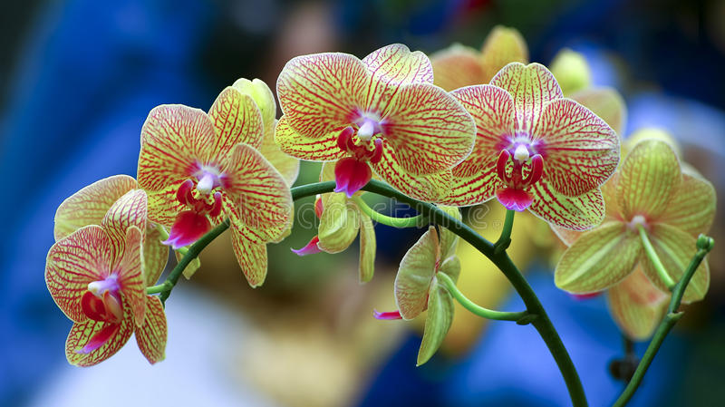 Vibrant golden yellow phalaenopsis orchids stock photo