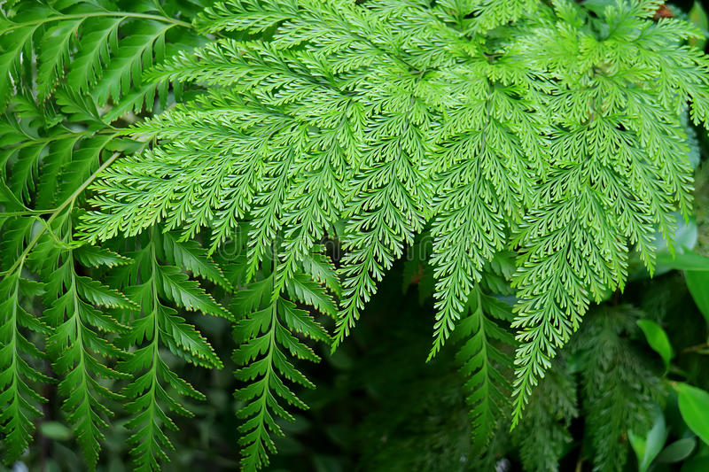 Vibrant Green Different Type of Gorgeous Fern Plants Leaves in the Garden royalty free stock images