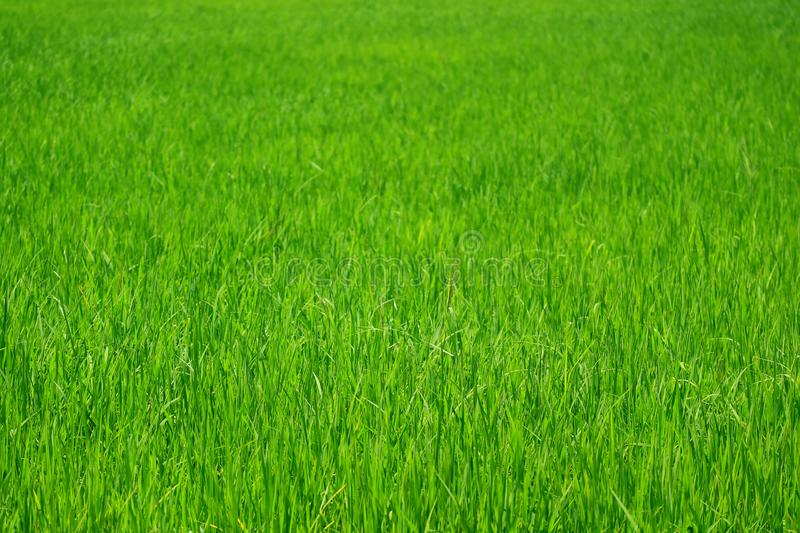 Vibrant green growing rice plants in the paddy field, central of Thailand royalty free stock image