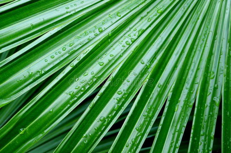 Vibrant Green Palm Leaves with Water Droplets after the Rain in the Gentle Sunlight. Tropical Garden stock photography
