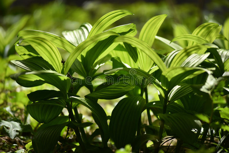 Vibrant green plant leaves in the forest. Beautiful vibrant green plant in the forest royalty free stock photos