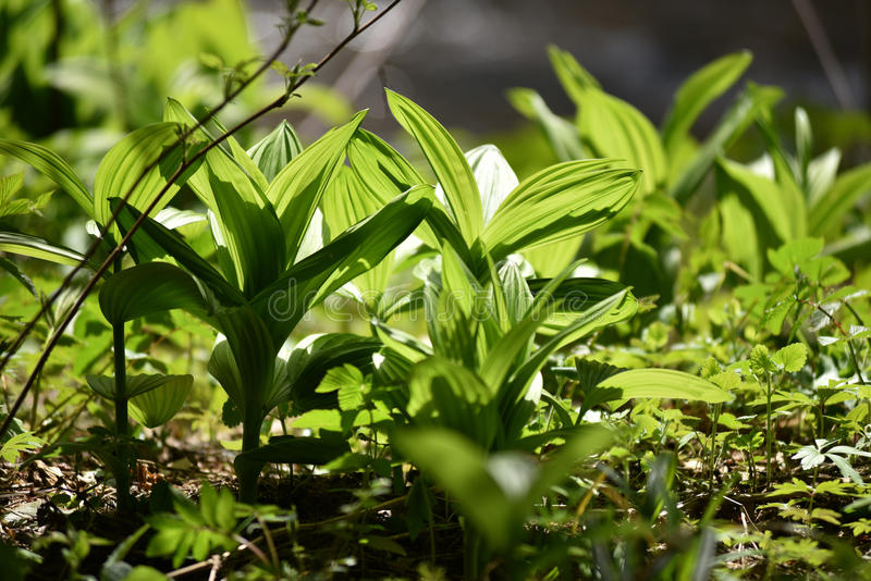 Vibrant green plant leaves in the forest. Beautiful vibrant green plant in the wild stock photos