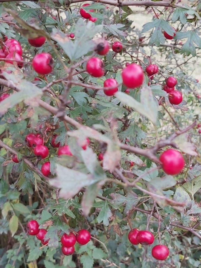Vibrant Hawthorn Berries in autunno fotografia stock libera da diritti
