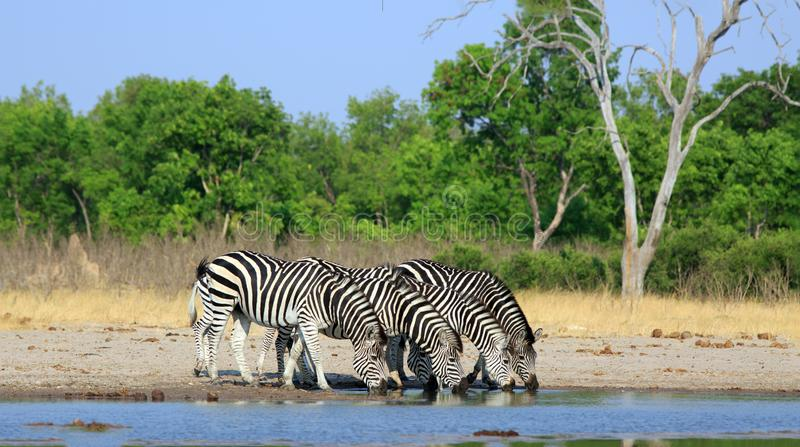 Vibrant image of Three Burchell Zebra with their heads dow drinking from a waterhole royalty free stock photography